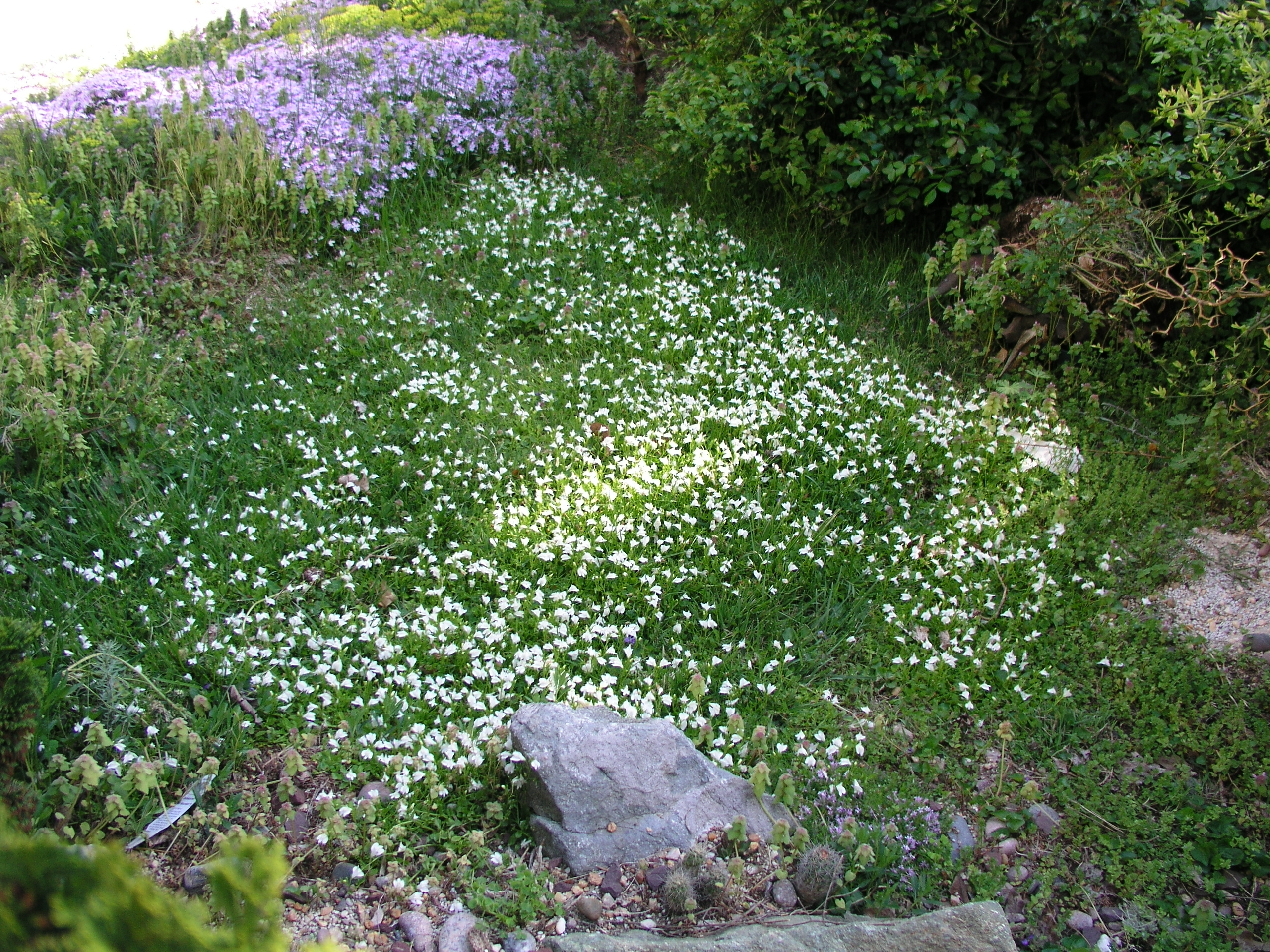 mazus_in_the_lawn_spring_2010.jpg