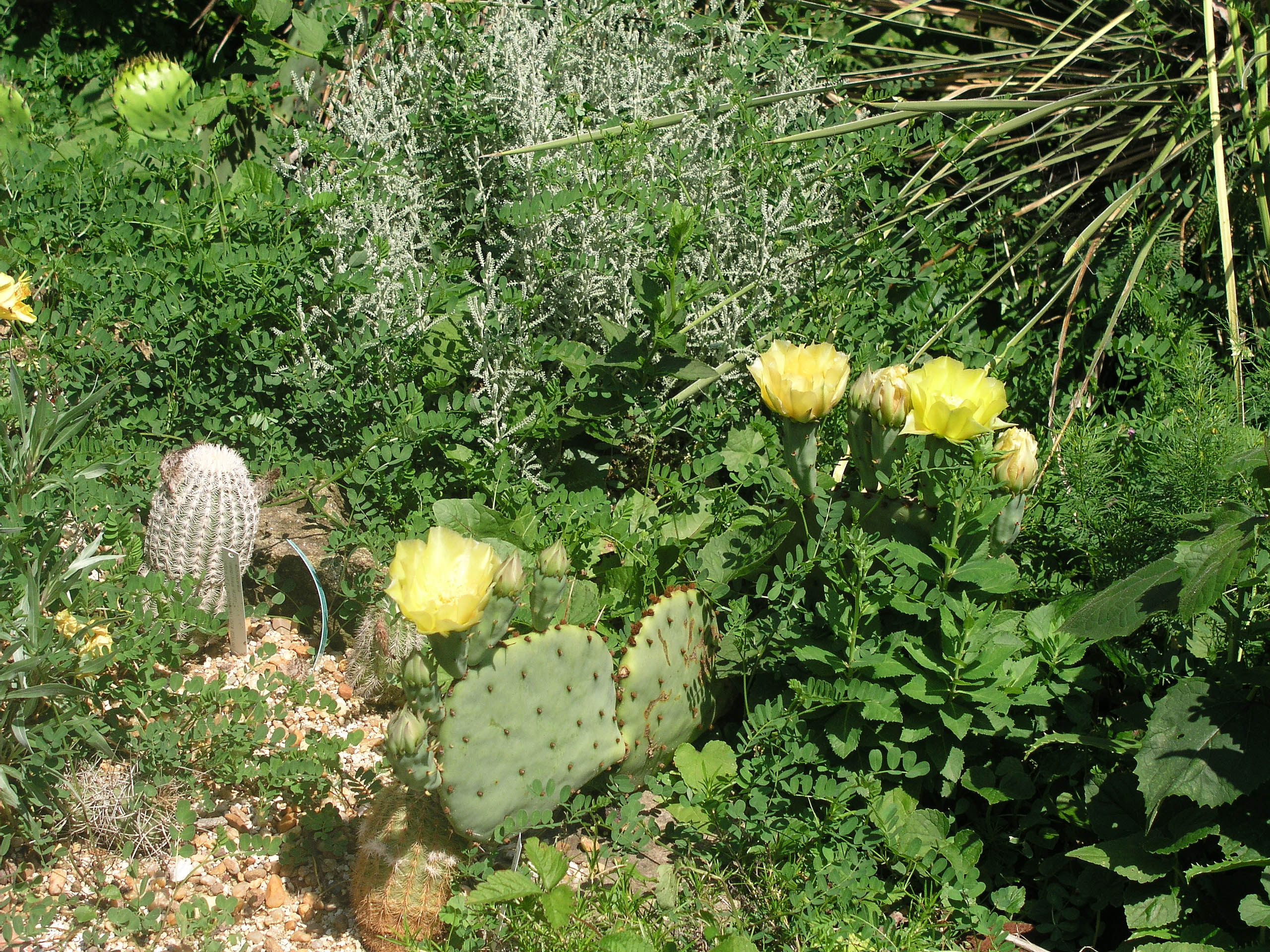 opuntia_phaeacantha_june_1_to_9_2007.jpg